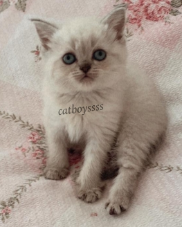 British shorthair lynx point dişi yavrular @catboyssss da